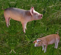 Pig farming business